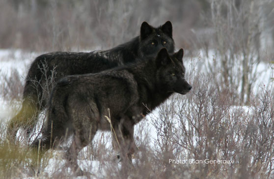Zwarte melanistische wolven gefotografeerd door Brian Generaux in Jasper National Park. Zeventig procent van de wolven is hier zwart. Volgens een studie in Science zou Global Warming deze zwarte wolven bevoordelen. Maar kloppen die claims wel?