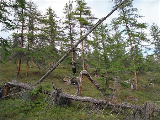 siberian_larch_trees