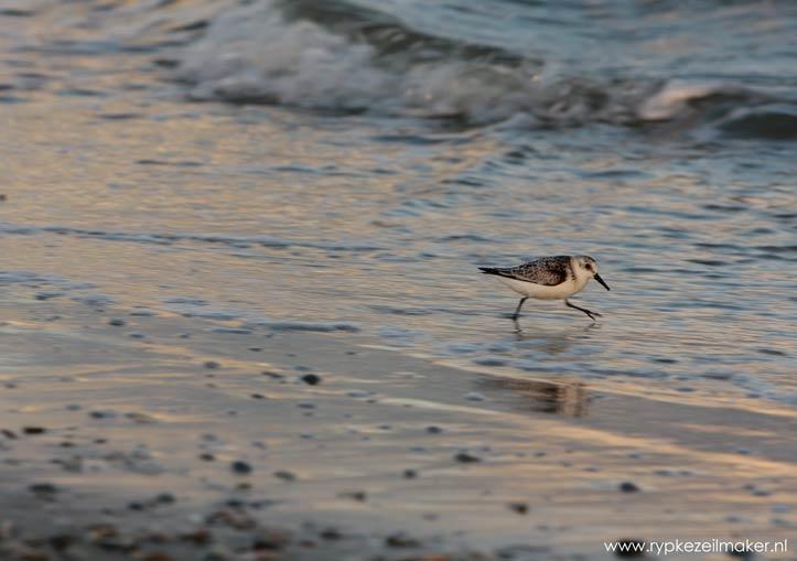 Drieteenstrandloper rent over het strand, in doodsangst op de vlucht voor De Klimaatverandering.