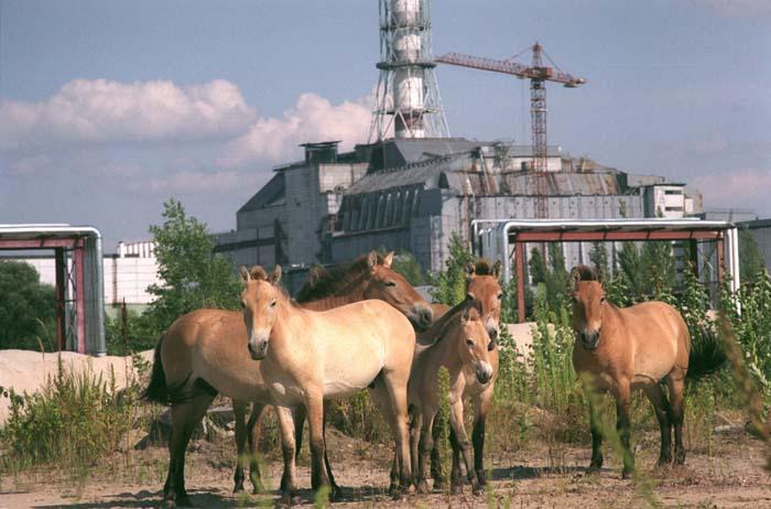 Przevalsky paarden dartelen rond de sarcofaag