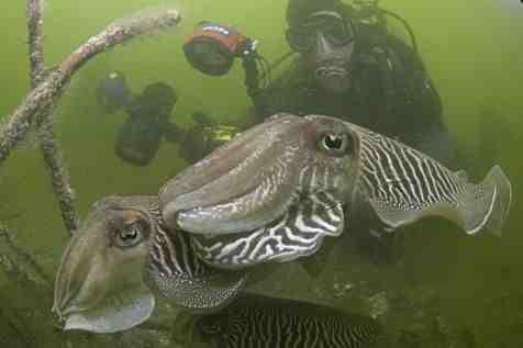 Sepia, posterdier in rapport Stichting De Noordzee