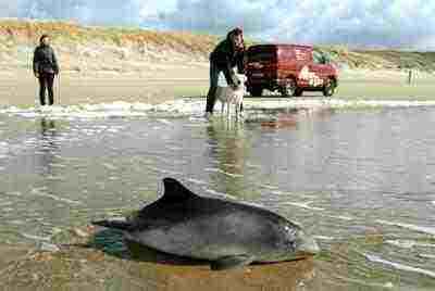 De bruinvis heeft de onhebbelijke gewoonte op stranden te gaan liggen: pure aandachttrekkerij