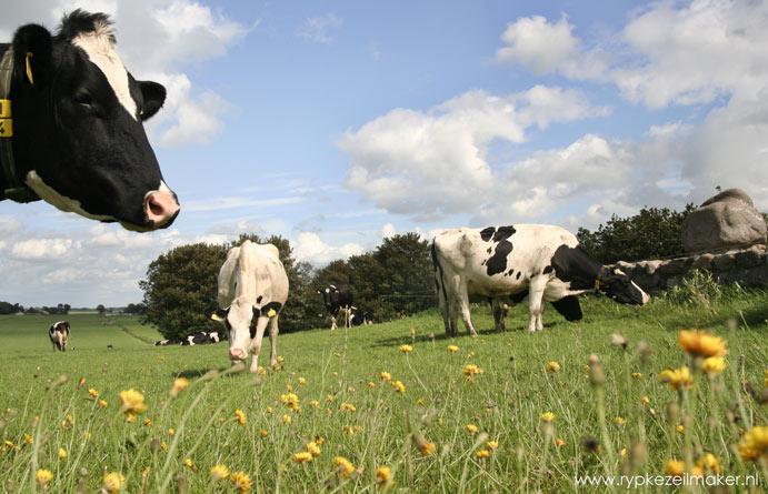 Met minder streng stikstofbeleid en minder boekhouding, houden boeren geld en tijd over en kunnen meer koeien in de wei staan