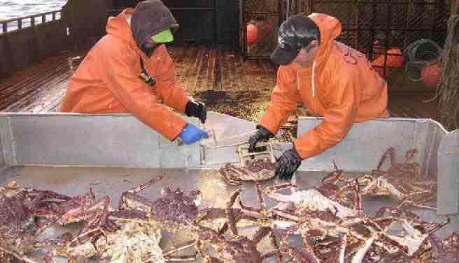 Deadliest Catch. De krabben zijn de kabeljauw liever kwijt dan rijk, maar afkoeling kan de verspreiding bevoordelen