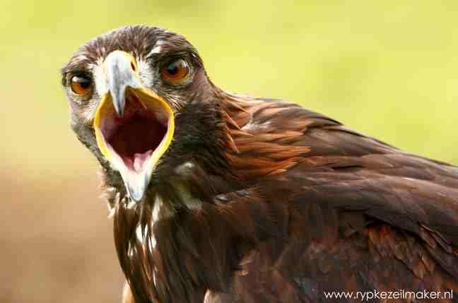 roofvogels als de pas geintroduceerde steenarend zijn kwetsbaar voor grootschalige windplannen, maar de Ierse regering verzuimde een impact assessment, van het nationale plan, onze eigen Nederlandse regering ook