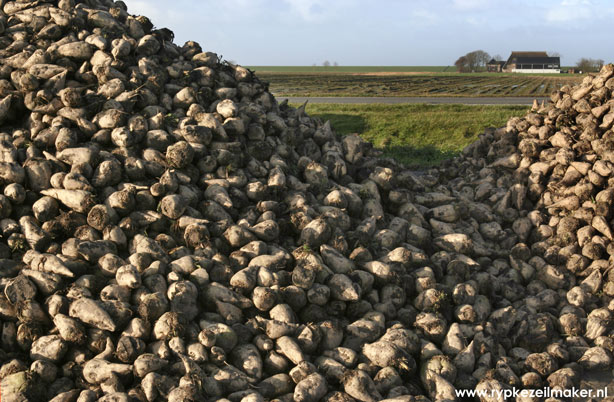 Verse biobrandstof: suikerbieten zijn net van het land gehaald