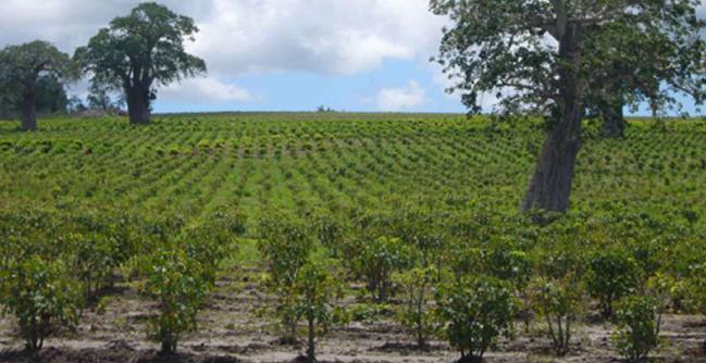 Bioshape Jatropha plantage
