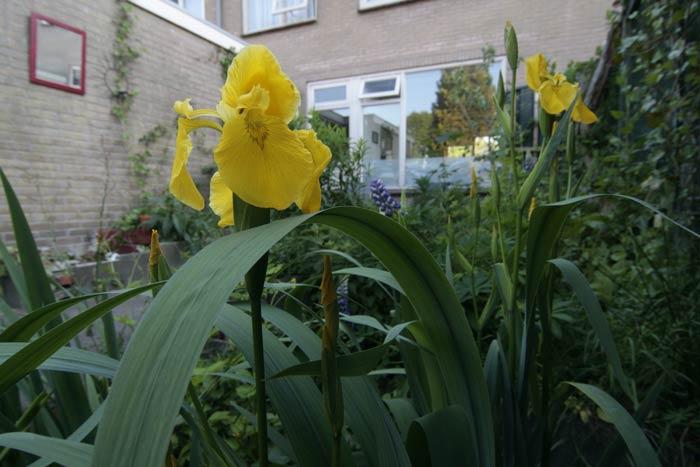 Mijn eigen floriade achter huis: de gele lis gaat er helemaal voor,net als de lupine