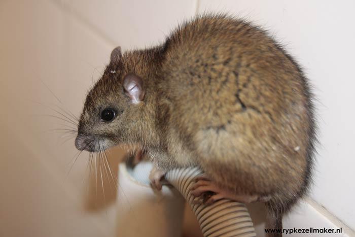 Ongewenste biodiversiteit: wat is de 'intrinsieke waarde' van een rat in je keuken, behalve dat je er een foto van kunt nemen?
