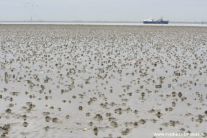 Door scholeksters geplunderde kokkelbank: ook dieren veroorzaken enorme bodemberoering