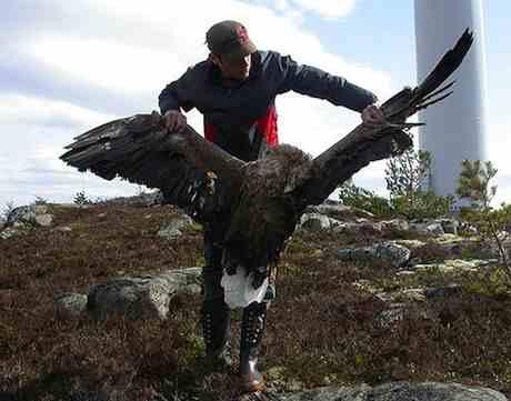 Zeearend gedood door windmolen. 'Vogelbescherming is voor grootschalige inzet van windenergie als het maar op de goede plaats komt'.