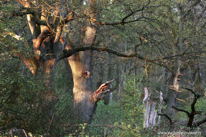 Vooral jonge bomen groeien véél harder bij meer CO2, de oudjes merken er niet zoveel van