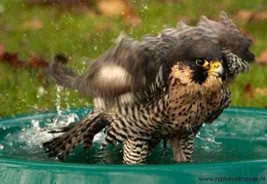 Vogels zijn de best onderzochte diergroep en daarvan is de slechtvalk het best onderzocht: gewoon omdat ie zo mooi is
