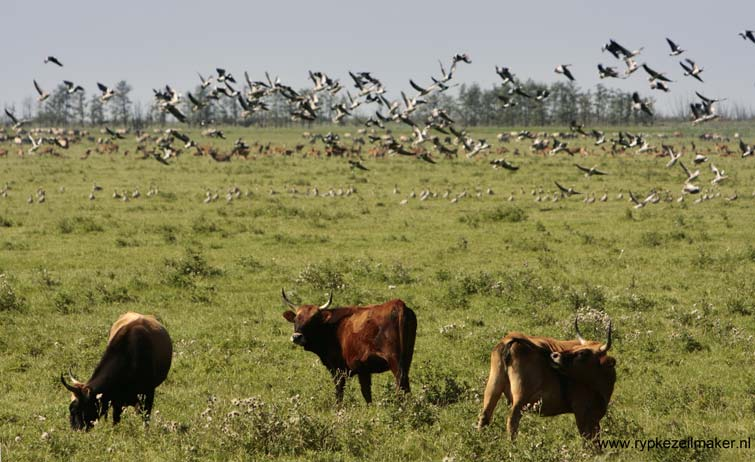 Heckrunderen: Nederlandse ecologen zijn in hun hart gewoon veeboer gebleven