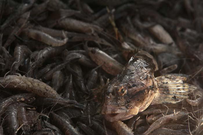 Zeedonderpad, bijvangst van garnalenvisserij