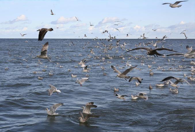 Minder visserij, minder meeuwen. De kleine mantelmeeuw broedt steeds meer landinwaarts door afname visserij
