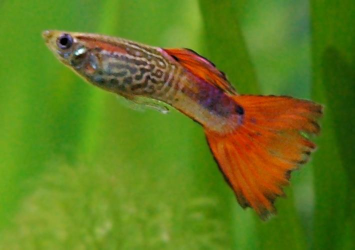 Nee, de groei van een gup van Bangor-biologen heeft niets met overbevissing te maken
