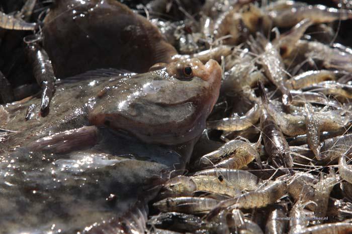 Imares vond 3 procent vangst platvis (zoals schol) in garnalenvisserij