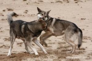 Saarloos wolfshonden
