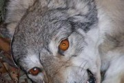 sitewolf_01