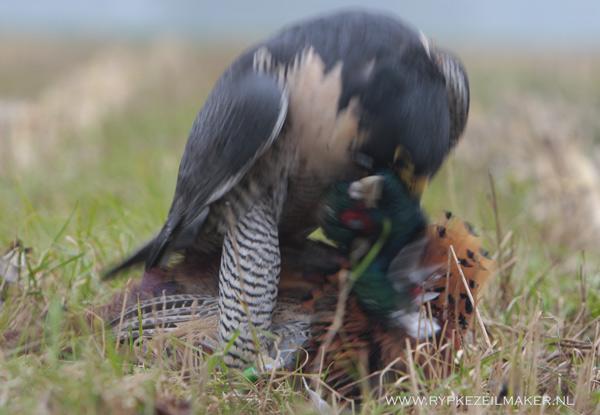 Met een nekbeet maakt de valk de fazantenhaan af, daar heeft hij een speciale tand voor