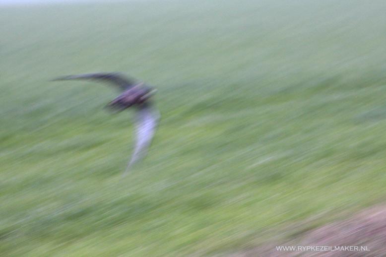 Deze foto van de slechtvalk was op een goede manier mislukt: het typische ankersilhouet