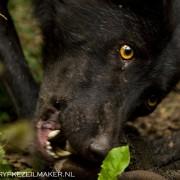 Genomen in Duitsland, de wolf is geen knuffeldier of mysterieuze hoeder van de wildernis