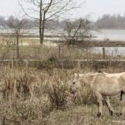 We zitten met Poolse boerderijpaarden opgescheept in de natuur