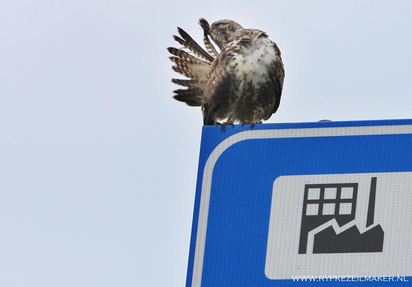 De buizerd, eerder zeldzame bosroofvogel, nu algemene industriekip