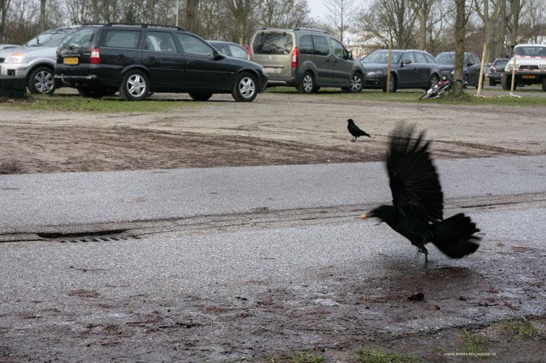 Stadskraaien Amsterdamse Bos, de kraaien zijn hier veilig voor menselijke jagers, die deze 'zwartrokken' graag willen strekken