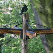 De merel is nu Nederland's meest algemene stadsvogel, eerder schuwe bosvogel