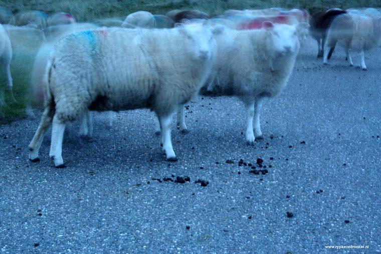 Stikstofemissie/Texels Lamsvlees/ onschuldig: het is maar hoe je er naar kijkt