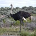 Zuid Afrika 2008 struisvogel
