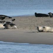 De zeehonden lagen gisteren lekker te zonnen