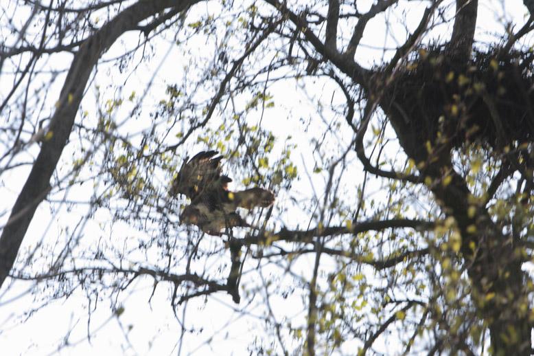 Buizerd vliegt van nest: wanneer aannames uit klimaatenvelopstudies kloppen, moet de buizerd volgend jaar zijn nest 100 meter noordelijker bouwen zo zegt 'De Wetenschap'