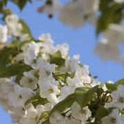 De kers sjanst met de bijen door zijn bloesems te laten knallen