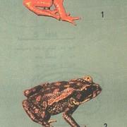 Bufo perigles, in 1964 ontdekt, in 1989 voor het laatst gezien