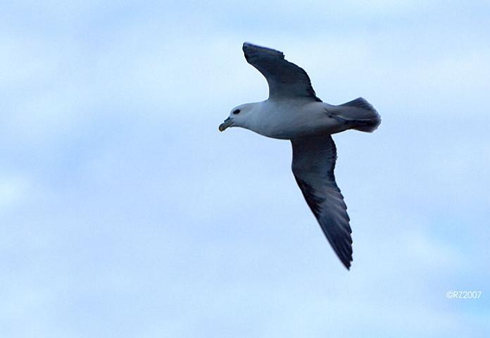 Eén van de vele slachtoffers van discardban: de Noordse stormvogel