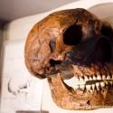Schedel Neanderthaler, groter en robuuster, maar met lager voorhoofd