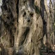 Haagbeuk in Urwald Hasbruch volgens Munch: Het verbranden van bos in energiecentrales schreeuwt om uitleg