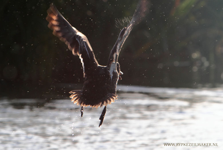 Wilde eend, niet zeldzaam, wel wilde natuur