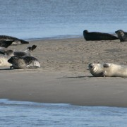 Zeehondenspek en Waddenbont voor zeiljacks, er zijn er meer dan genoeg