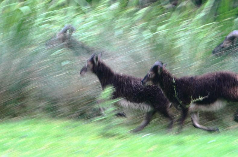 Soay schapen in begrazigsterrein met meidoorn