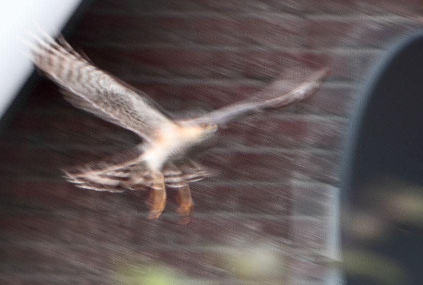 Veel leuker om te laten zien, dan dat kritische gedoe: er kwam een sperwer in mijn tuin