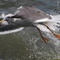 Overlast meeuwen zal groeien als aanlandplicht bijvangst visserij hun voedsel op zee afneemt