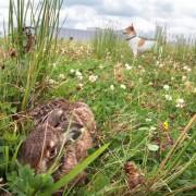 Imares: Leidt uit de waarneming van deze haas bij Heerenveen de totale hazenpopulatie in NL af...