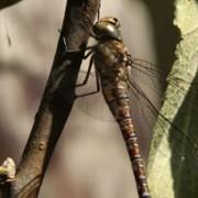 Ook in mijn tuin veel libellen