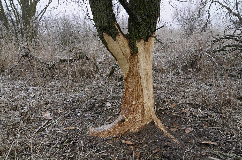 De edelherten eten hun schoen op in de winter: bomenschillen met bomendood tot gevolg
