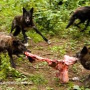 Wanneer de wolf zich spontaan (her)vestigt komt hij als 'ernstig bedreigd' op de Rode Lijst. Het is ook nooit goed...