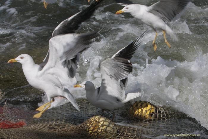 Als vissers uit natuur oogsten is dat slecht voor de natuur van Natuurmonumenten, hoewel meeuwen en vele soorten profiteren